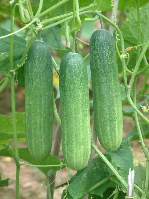 Cucumber_Taksin_B.86164422